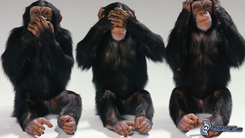 non parlo, non vedo, non sento, scimmie