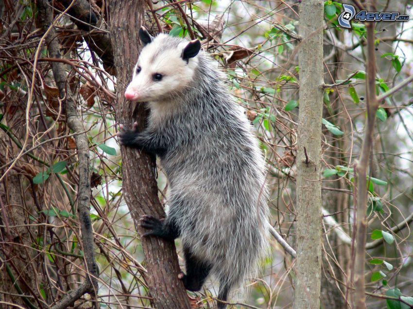 opossum, alberi