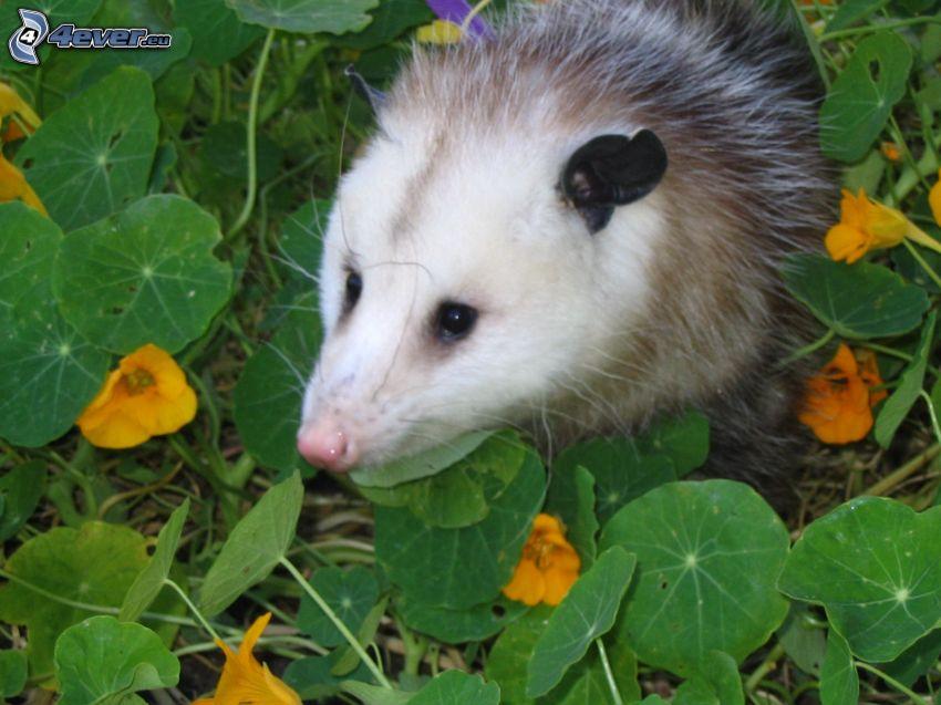 opossum, l'erba