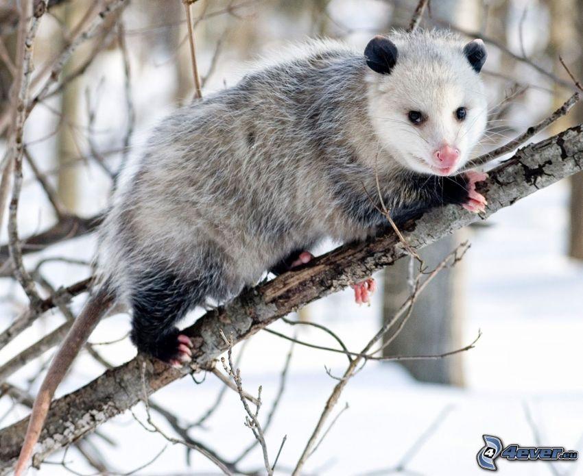 opossum, neve, rami