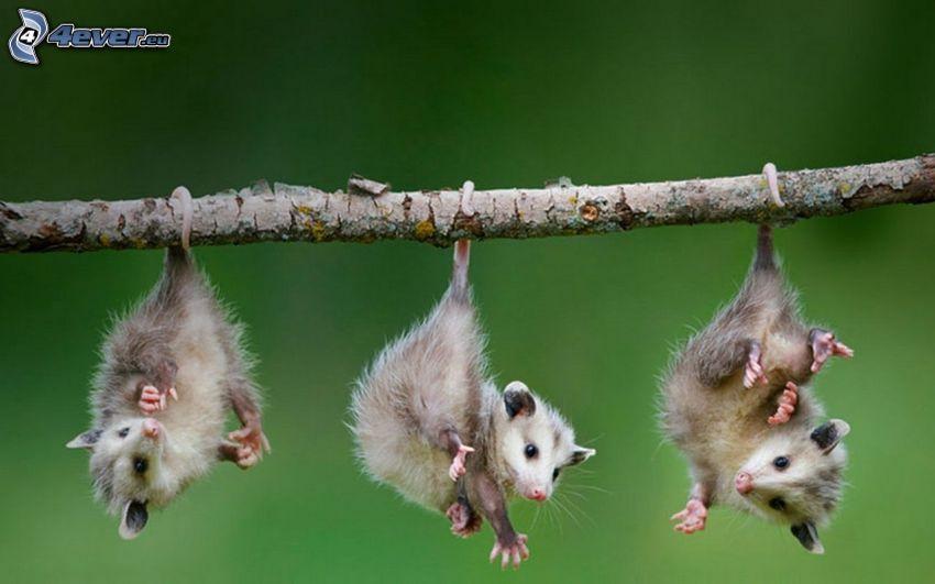 opossum, ramo