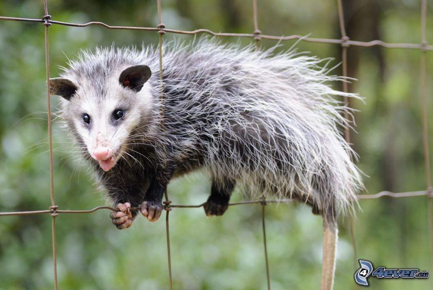 opossum, recinto