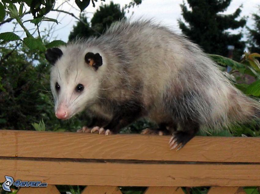 opossum, recinzione
