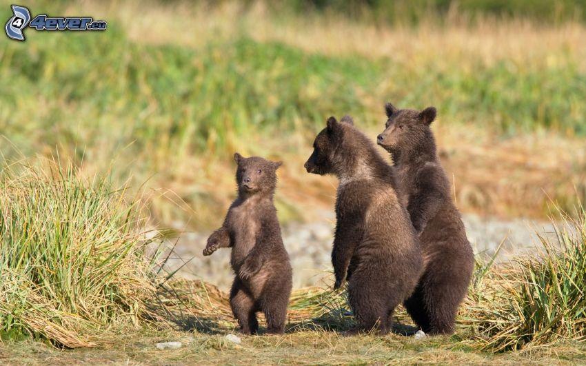 orsi bruni, cuccioli