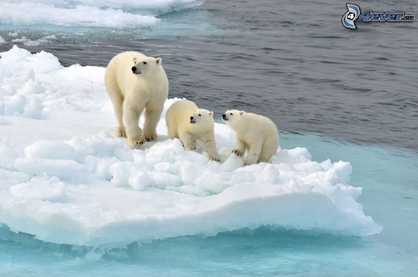 orsi polari, cuccioli, lastra di ghiaccio, Oceano Artico