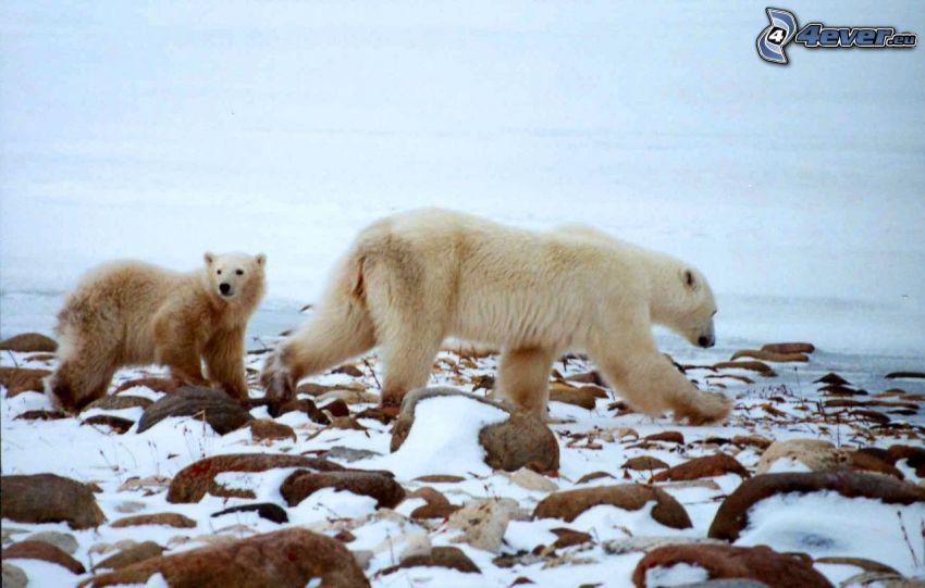 orsi polari, inverno, rocce, luogo selvaggio
