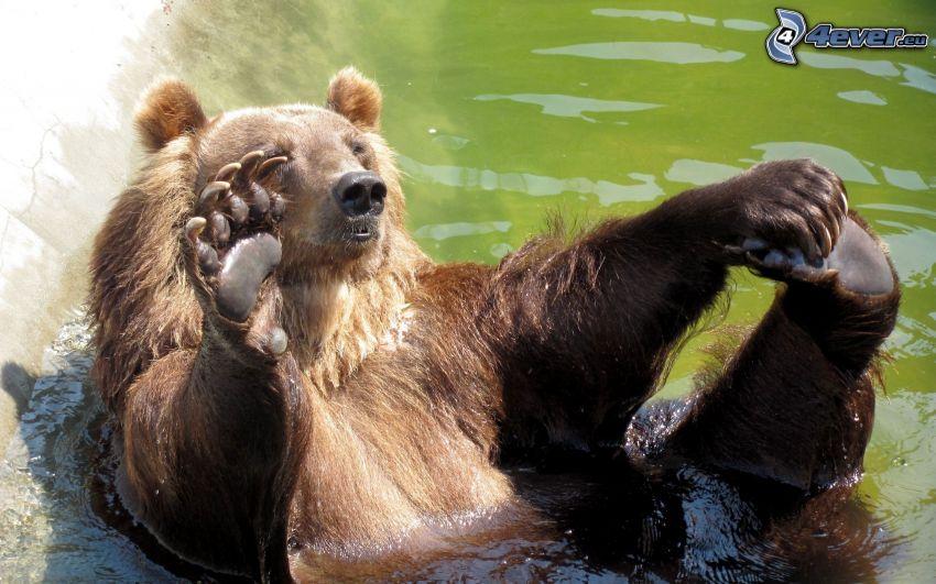 orso, acqua, bagno
