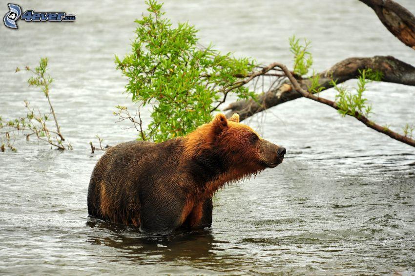 orso bruno, acqua, ramo