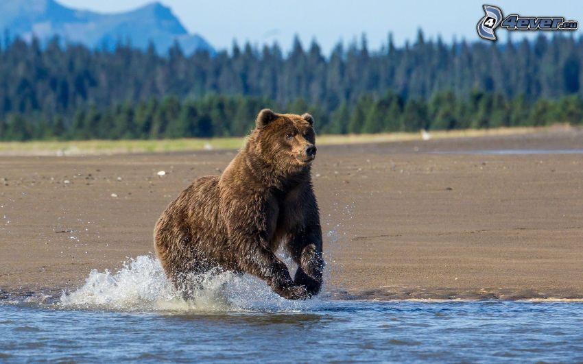 orso bruno, acqua