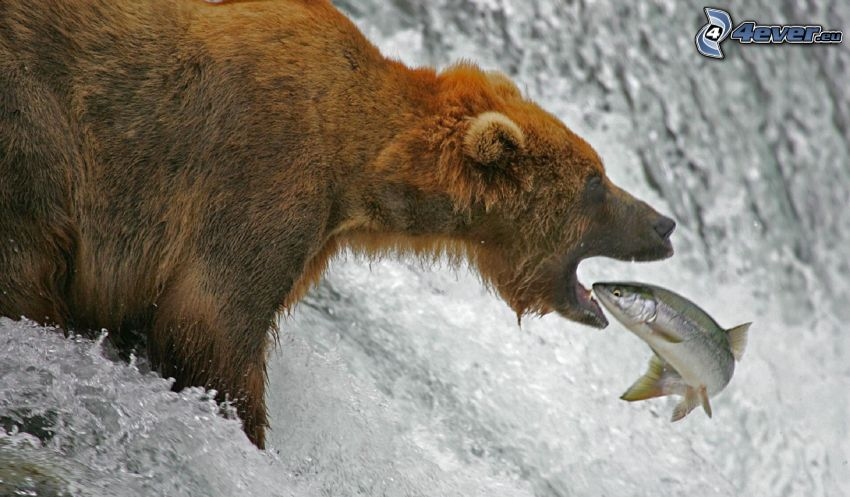 orso bruno, pesce, caccia