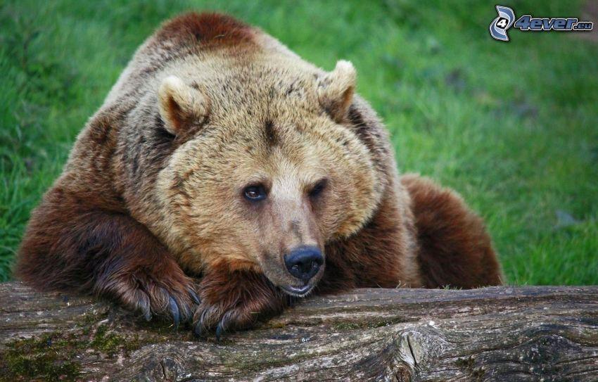 orso bruno, tronco