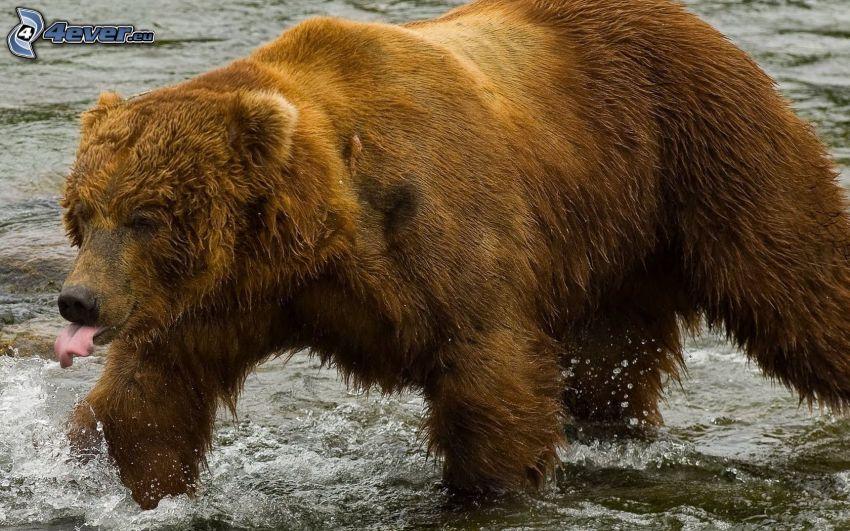 orso grizzly, acqua