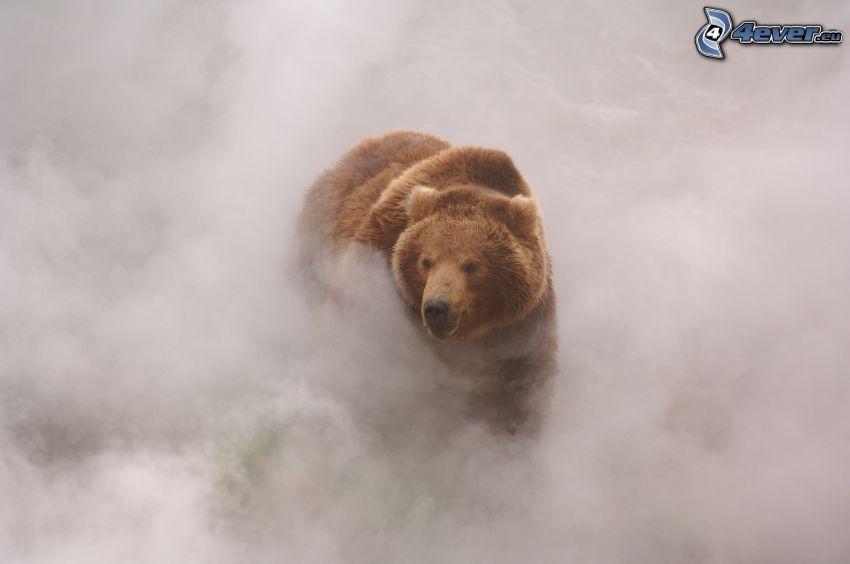 orso grizzly, nebbia