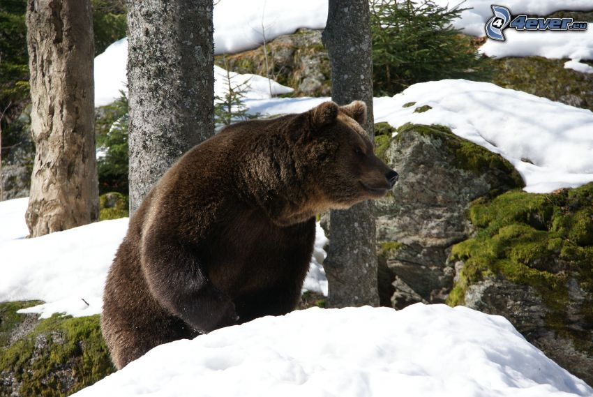 orso grizzly, rocce, neve