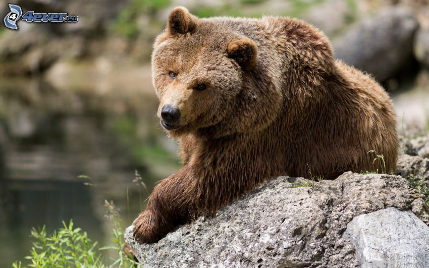 orso grizzly, roccia