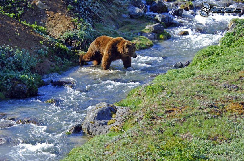 orso grizzly, ruscello