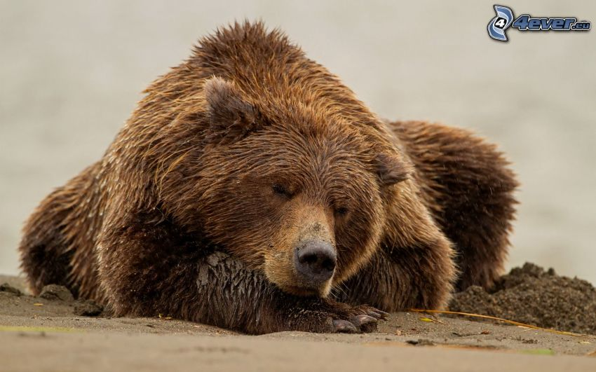 orso grizzly, sonno