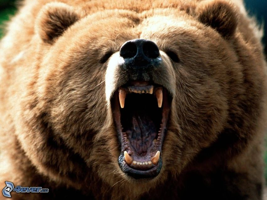 orso grizzly, urlo
