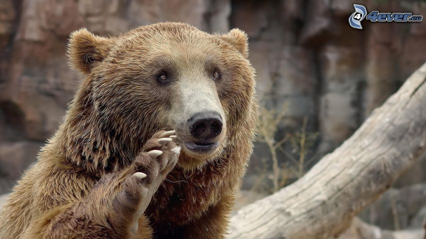 orso grizzly, zampa