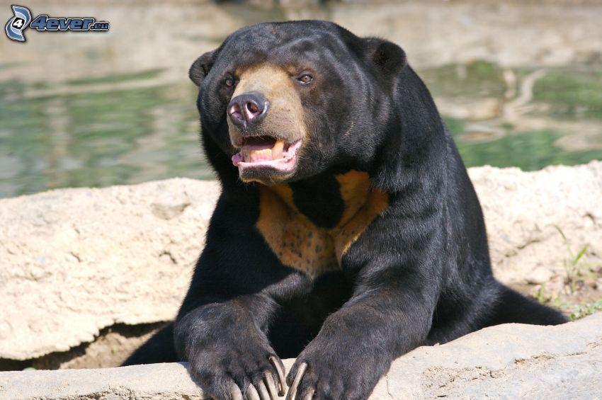 orso nero