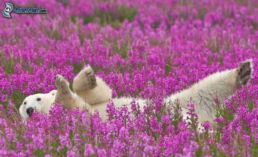 orso polare, fiori viola