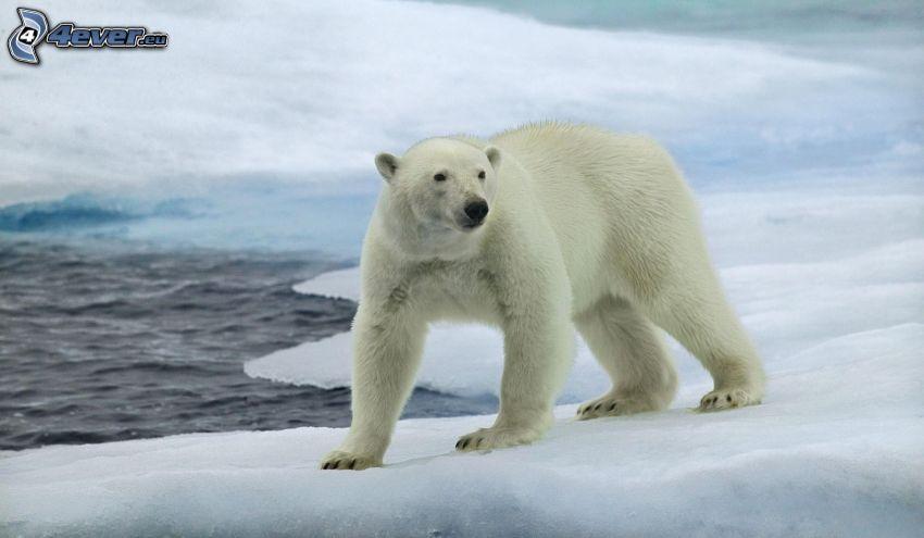 orso polare, ghiaccio, neve