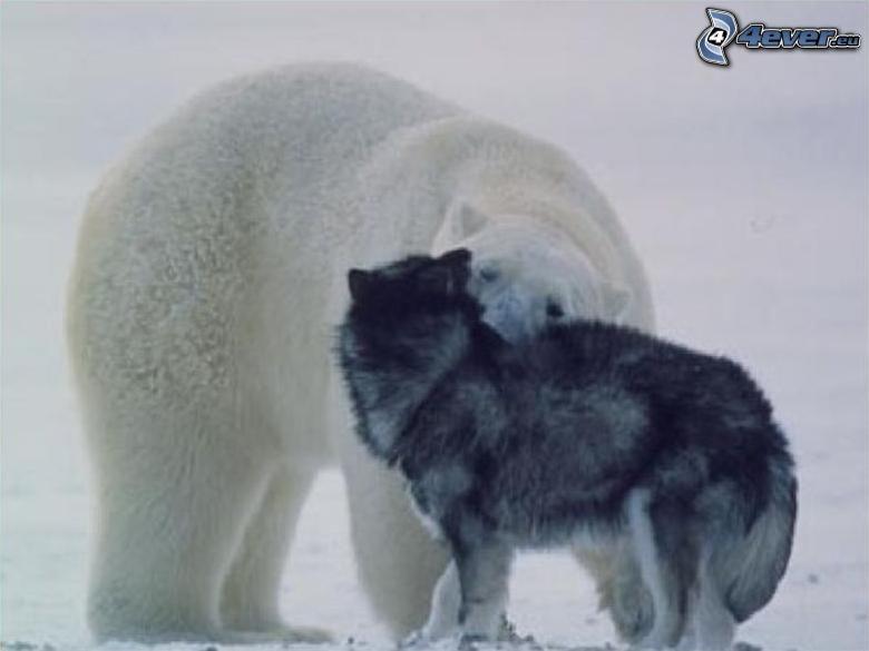 orso polare, lupo