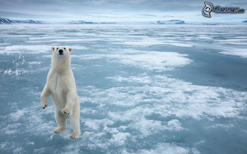 orso polare, mare, ghiaccio