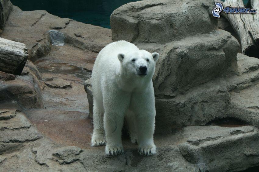 orso polare, rocce