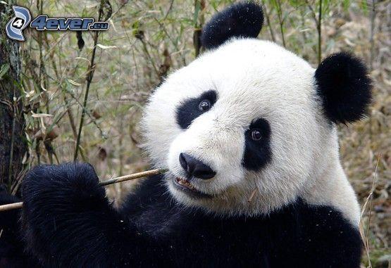 panda, animali