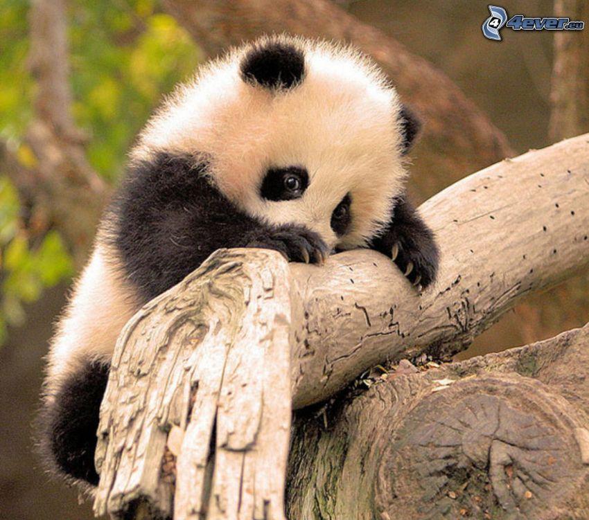 panda, cucciolo, legno