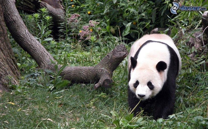 panda, foresta, tronco