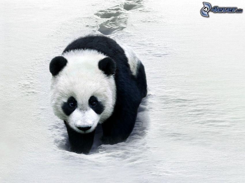 panda, neve