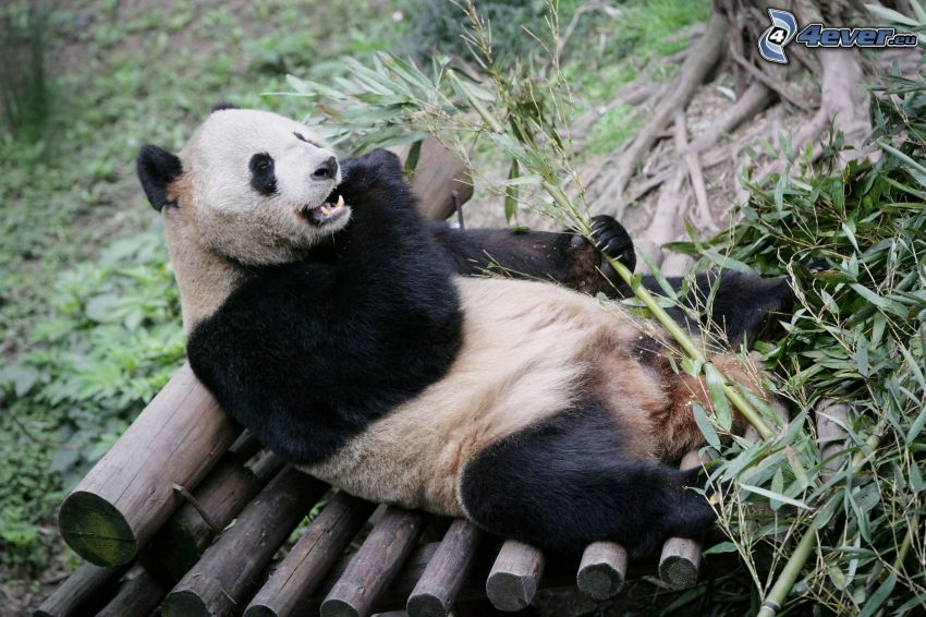 panda, riposo