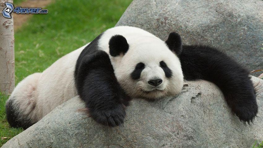 panda, sonno, masso
