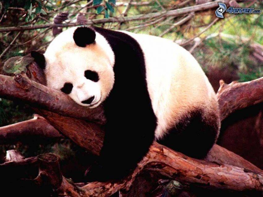 panda, sonno, tronco