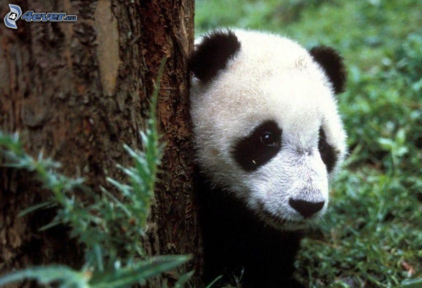 panda, tronco