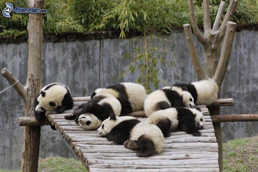 panda, ZOO, sonno