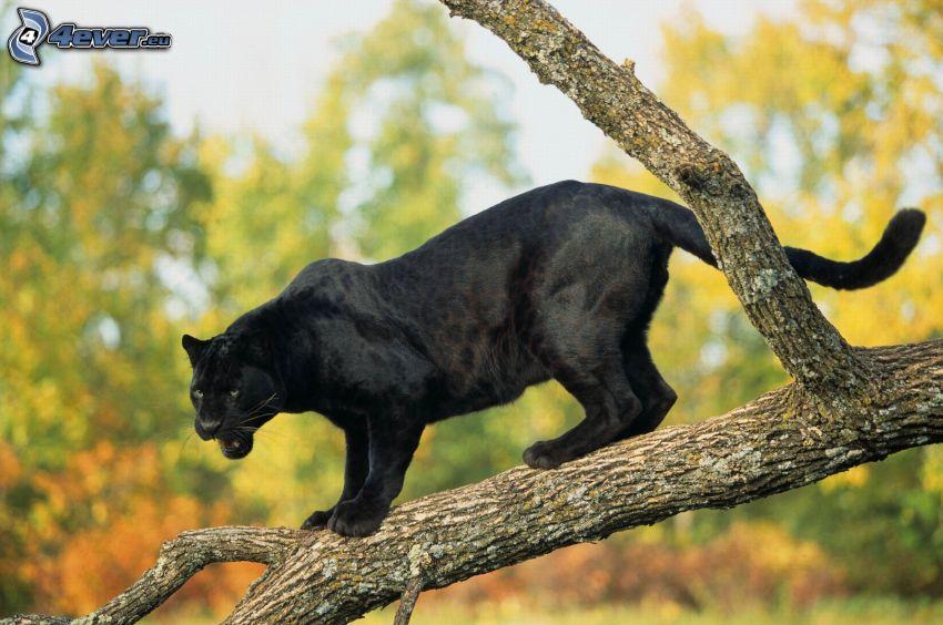 pantera nera, albero