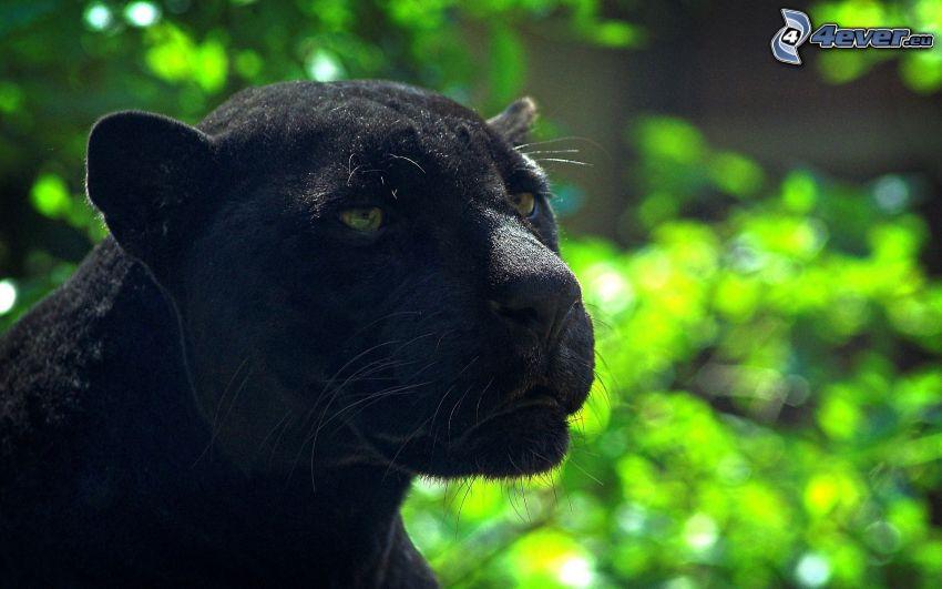pantera nera