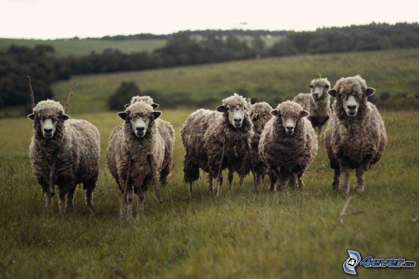 pecore, prato