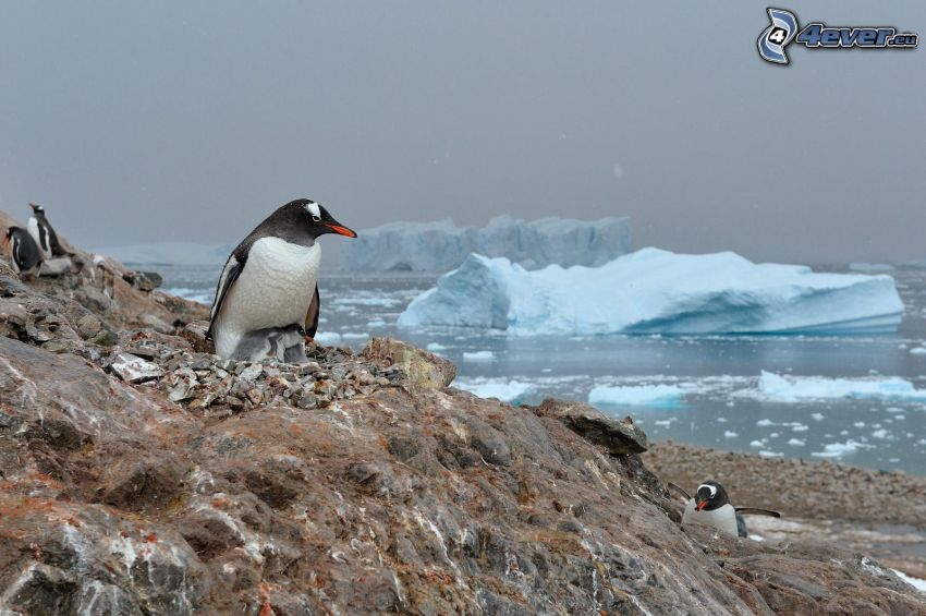 pinguino, cuccioli, rocce, Oceano Artico, ghiaccio