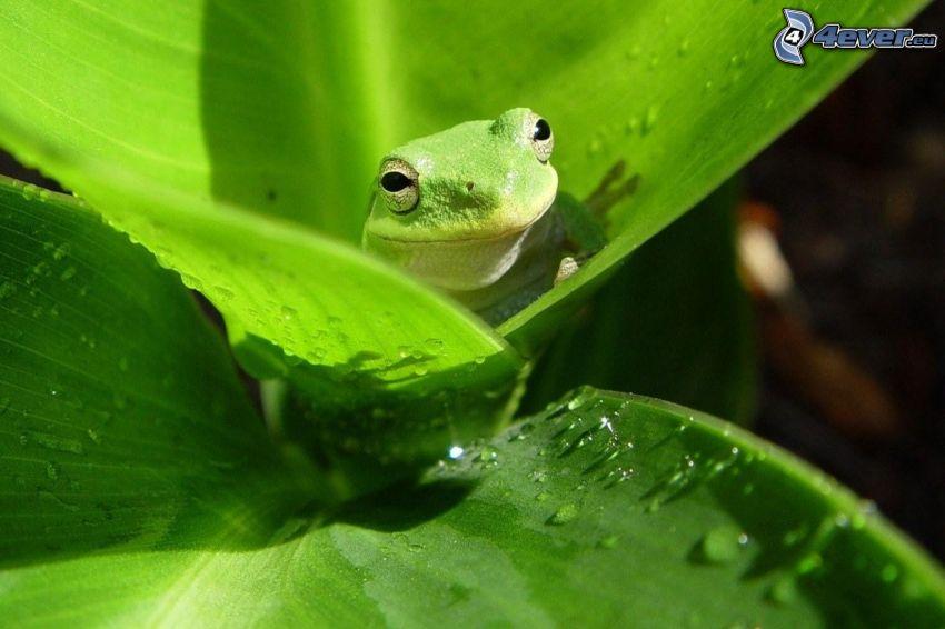 rana, foglie verdi