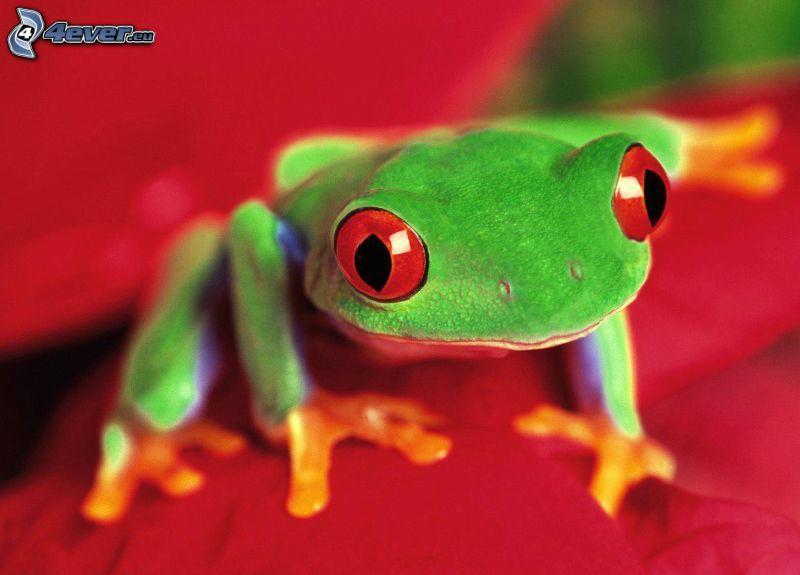 rana, gli occhi rossi