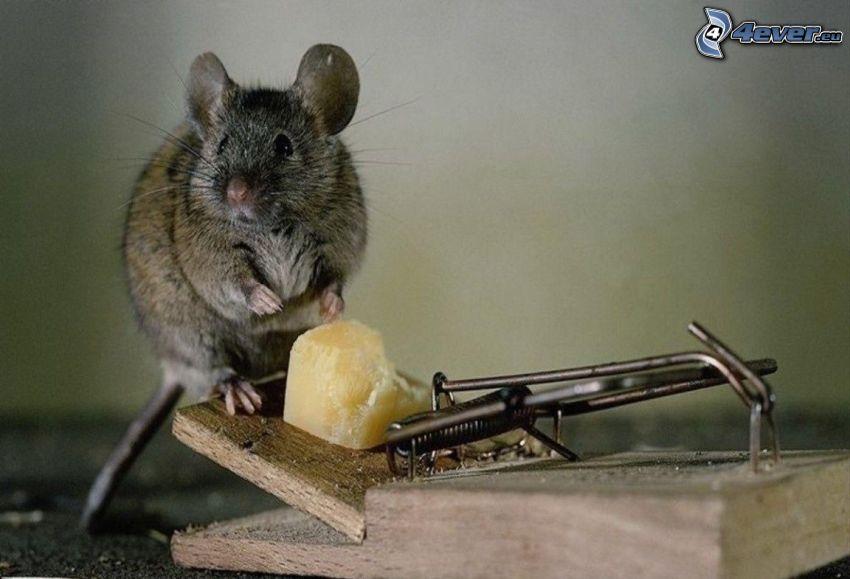 ratto, formaggio, trappola