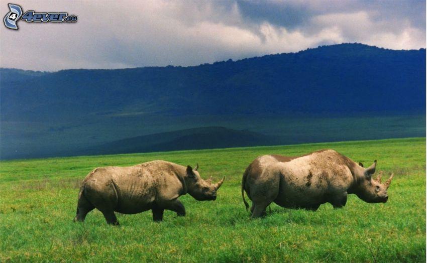 rinoceronte, montagna, prato