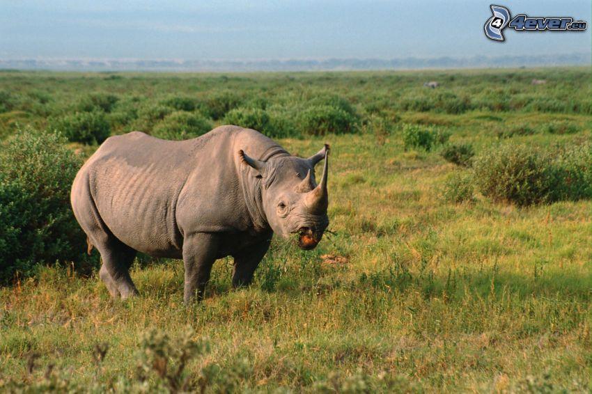 rinoceronte, Tanzania, steppe, savana