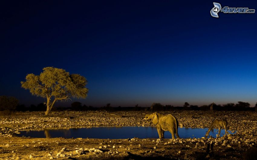savana, elefante, giraffa, albero, notte