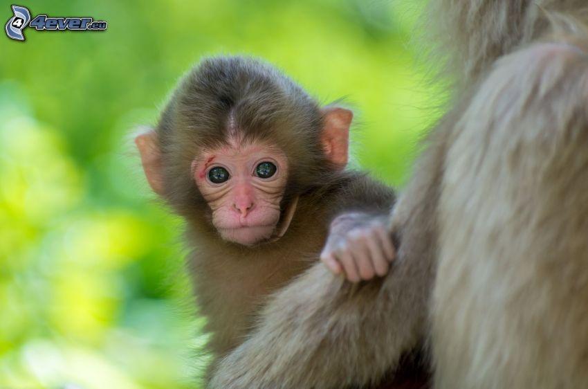 scimmia, cucciolo