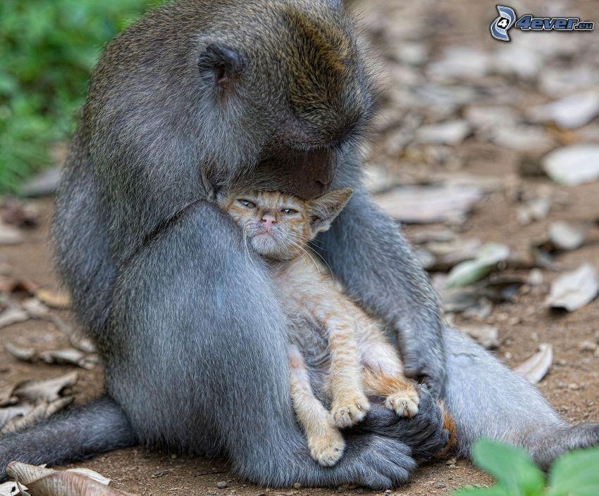 scimmia, gattino marrone